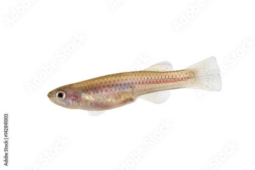 Red Striped Killifish Female Aphyosemion Striatum