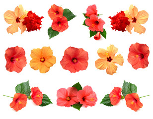 Collection of colored hibiscus flowers with leaves isolated on white background.