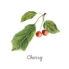 Botanical watercolor illustration of red cherry with green leaves isolated on white background with description