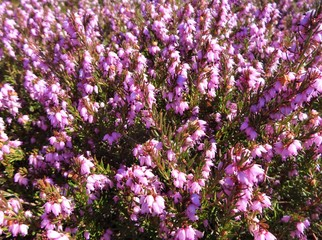 Pink heather flowers in spring sunshine