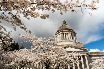 Washington State Capital Building Olympia Springtime Cherry Blossoms