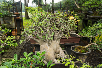 Bonsai tree in a pot made from clay for decorative plants sell at plant seller photo taken in Jakarta Indonesia