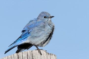 Fotoväggar - Male Mountain Bluebird (Sialia currucoides)