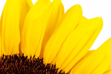 blooming sunflower on white background, close up