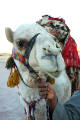 Arab man holding a camel the reins in Egypt