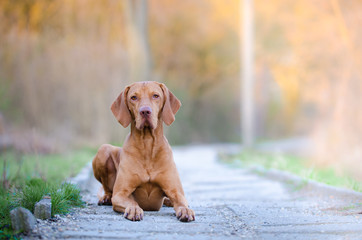 Portrait of hungarian vizsla hunter dog