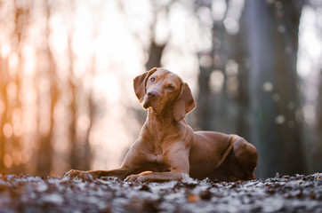 Portrait of hungarian vizsla hunter dog