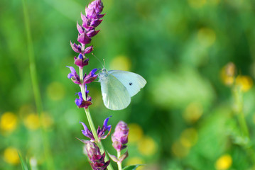 Small White butterfly, Pieris rapae, On wildflower