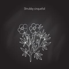 Shrubby cinquefoil plant