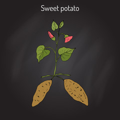 Sweet Potato ipomoea batatas