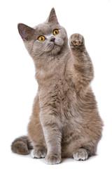 Kätzchen hebt die Pfote
