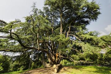 Varese (Italy):  Giardini degli Estensi, an old cedar of Lebanon