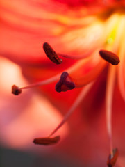 Extreme macro shot. Abstract background with pistil and stamen red lily