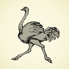 Ostrich. Vector drawing