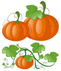 Pumpkins on green vine