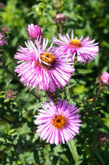 Aster alpinus purple flowers  with green