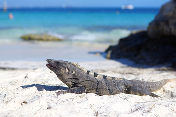 Iguana on the beach. Turquoise water in the background.