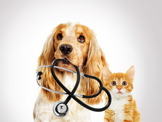 Wall Mural - portrait vet dog spaniel And a kitten on a gray background