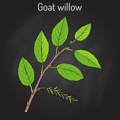 Goat Willow Salix caprea