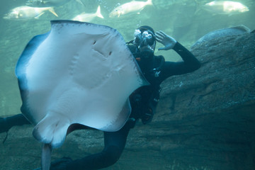diver with stingray
