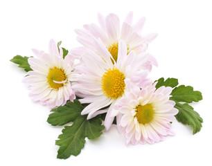 Photo sur Plexiglas Marguerites White chamomile.