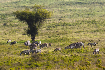 A herd of zebras grazing on the Savannah