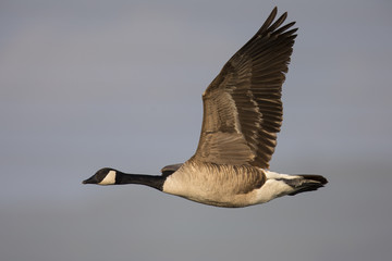 Canada goose flying in the warm sunset colors