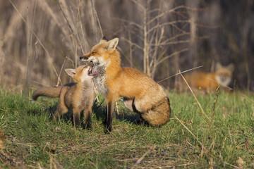 Red fox family in spring