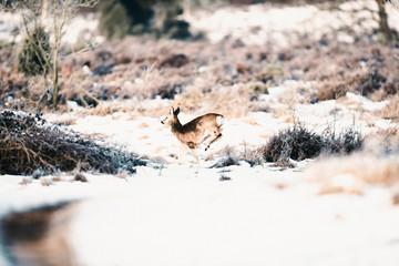 Roe deer buck running in winter moorland.