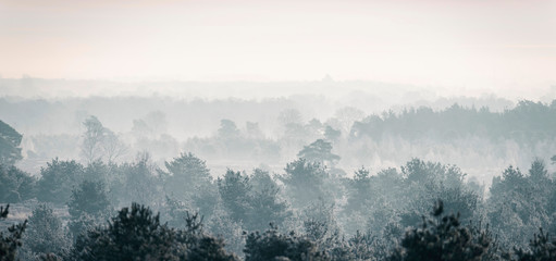 Pine winter forest in mist.