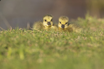 Canada Goose babies