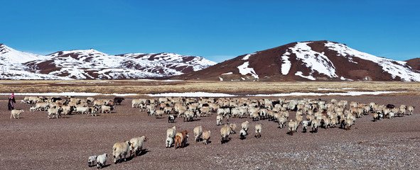 Tibetan nomad and herd of sheeps in Ngari, Western Tibet
