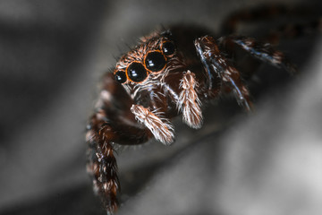 Close up jumping spider Carrhotus xanthogramma