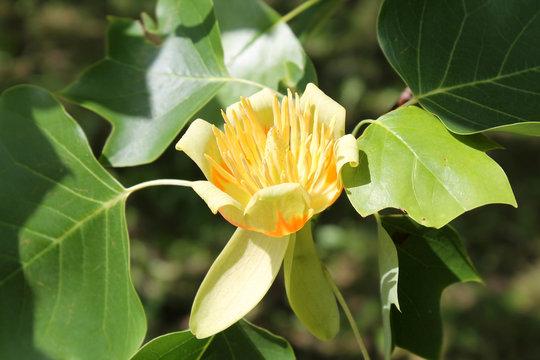 Flower of tulip tree (Liriodendron tulipifera)