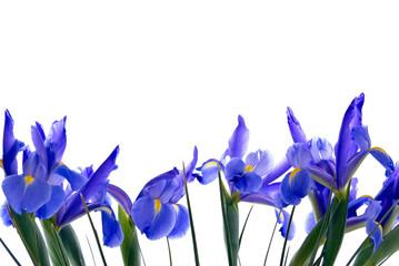 Blue Iris Flower Border on White Background