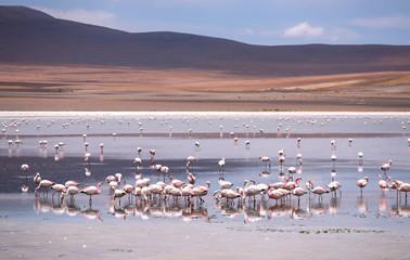 High-altitude lagoon with flamingos on the plateau Altiplano, Eduardo Avaroa Andean Fauna National Reserve, Bolivia