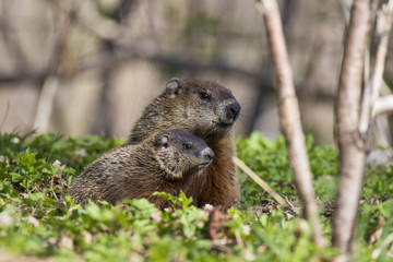 Cute Groundhog family