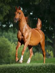 chestnut arabian stallion runs free in summer meadow