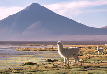 Lamas on the lagoon Colorada lagoon with flamingos on the plateau Altiplano, Eduardo Avaroa Andean Fauna National Reserve, Bolivia