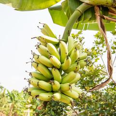 fresh green banana tree with flora