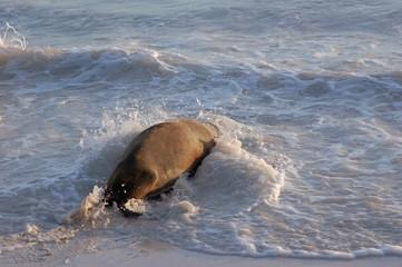 Sea lion splashing into the ocean, Galapagos