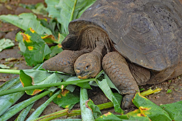 Giant Galapagos tortoise feeding on leaves