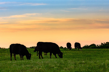 Cows in silhouette against colorful sky