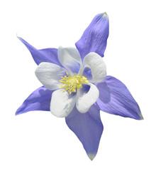 Aquilegia flower