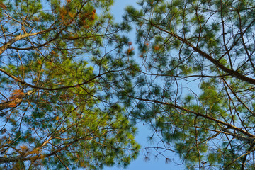 Beautiful pine branch on background blue sky