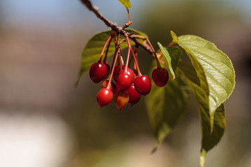 Red berries on a Taiwan cherry tree