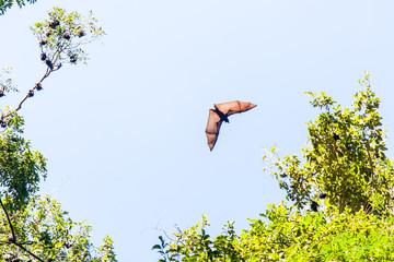 Australian Fruit Bat in flight
