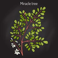 Miracle tree Moringa oleifera , medicinal plant.