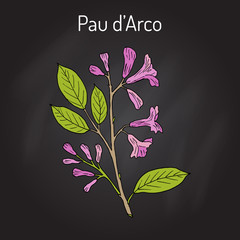Pau d arco Tabebuia impetiginosa , or trumpet tree, medicinal plant
