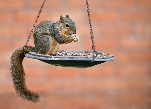 Fox squirrel (Sciurus niger) eating seeds from bird feeder